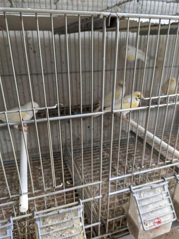 Mil Anuncios Com Canarios Compra Venta De Pajaros Canarios En Zamora Anuncios Con Fotos De Pajaros Comprar Un Pajaro Todas Las Razas De Pajaros