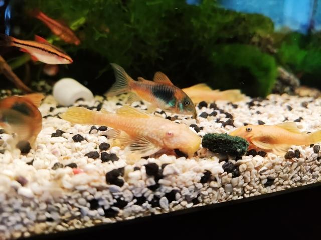 Acuario 50 L, Crías Kribensis Y Elongatus