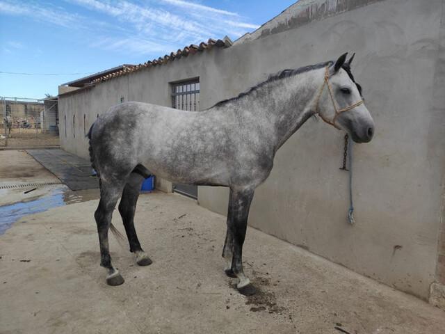 CABALLO ESPAÑOL - foto 3