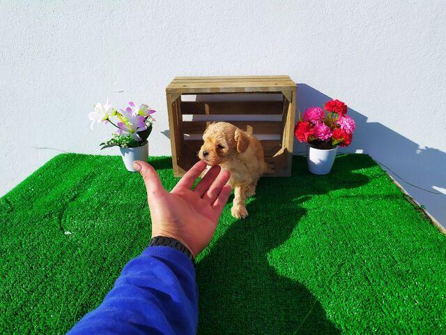 Preciosos Caniche Toy