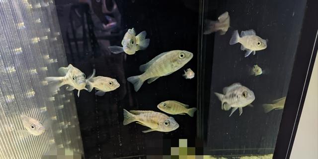 Aulonocaras Juveniles