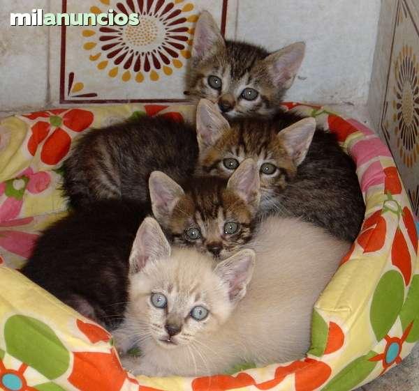 Mil Anuncios Com Gatitos Buscan Hogar Compra Venta De Gatos Gatitos Buscan Hogar En Valencia Anuncios Con Fotos De Gatos Comprar Un Gato Todas Las Razas De Gatos
