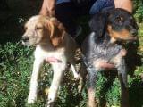 Venta y adiestramiento perros de caza - foto