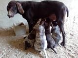 Venta perros de caza,y adiestramiento - foto