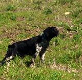 Adiestramiento perros de muestra - foto