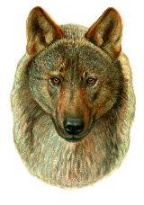 Pegatinas-adhesivos lobo iberico - foto