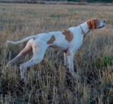 perros  becada,zarceros  y cobro zorzal - foto