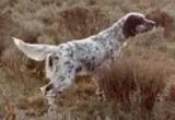 Se venden perros de muestra y puesto fij - foto