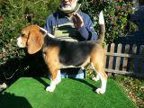 Camada de Beagles Isabelinos - foto