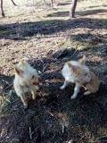 perros cazand zarzas y cualquier terreno - foto