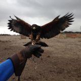 Control de palomas salvajes - foto