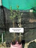 Vivero de olivos. Plantones nebulizados - foto