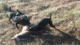 Descaste de zorros con jagd terrier. Cac - foto