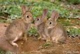 conejos de monte pera repoblar - foto