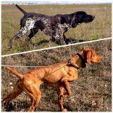 Perros Caza Adiestramiento-Entrenamiento - foto