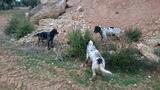 cachorros y jóvenes iniciados de setter - foto
