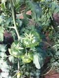 Semillas Tomates pata Negra Raf - foto