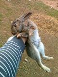 conejo/campo/monte/vivos - foto