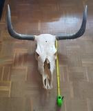 Craneo vaca - foto