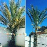 palmeras LIMPIAS - foto