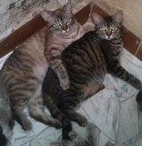 URGENTE! Gatos en adopción - foto