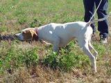 Perros de caza de perreras castellanas - foto