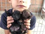 Nueva Camada patterdales terrier - foto