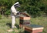 Recojo gratis enjambres de abejas - foto