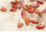 Elimina cucarachas chinches 100% efectiv - foto