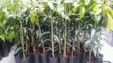 Tutores para plantas , olivos ... - foto