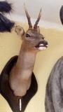 Taxidermia corzo - foto