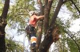 Jardinería Forestal Podas en altura - foto