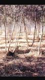 Seleccion de brotes de eucalipto - foto