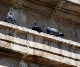 Control de palomas - foto