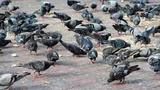Plaga de palomas - foto
