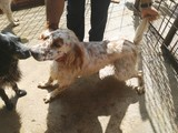 Se ofrece perro setter inglés para monta - foto