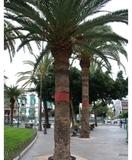 Anillas contra ratas en palmeras - foto
