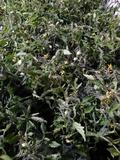 Plantas de tomates , pimientos ... - foto