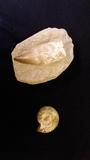 pareja de fosiles - foto