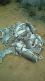 Descaste   de  conejos - foto