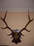 Cornamenta antigua de ciervo 10 puntas - foto