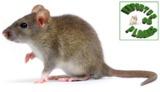 Eliminar ratas y ratones en Murcia - foto