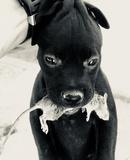 Patterdales terrier con garantia - foto