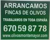 ARRANQUE DE FINCAS DE OLIVOS - foto