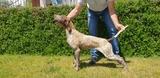 cachorros de braco aleman - foto