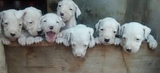 PRECIOSOS DOGO ARGENTINO - foto