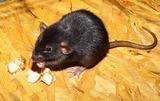 Eliminamos Ratas y Ratones - foto