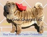 SHAR PEI DE LAS CUATRO COLUMNAS - foto