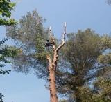 Tala de pinos de gran porte (663777576) - foto
