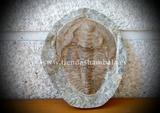 Fósil de Crinoideo - foto